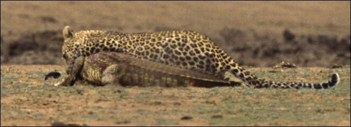 Леопард против крокодила! (7 фото)