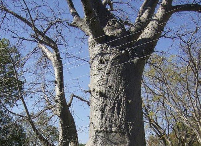 Когда дерево приносит пользу! (4 фото)