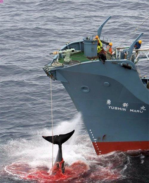 Охота на китов (5 фото)