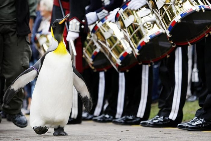 Пингвин-полковник (5 фото)