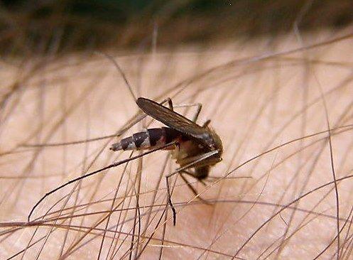 Макрофото. Комар пьет кровь (5 фото)