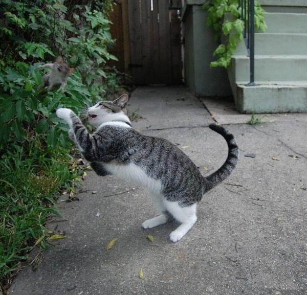 Битва кошака и крысы (4 фото)