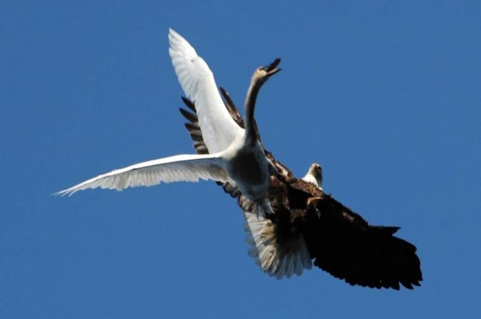 Орел атаковал лебедя (6 фото)