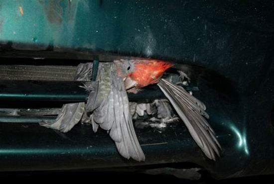 Машина сбила птичку... (4 фото)
