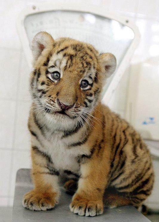 Позитив дня! Тигренок из зоопарка Берлина! (7 фото)