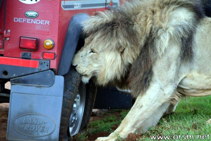 Львы напали на авто с туристами (6 фото)