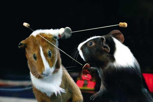 Морские свинки на Олимпиаде (9 фото)