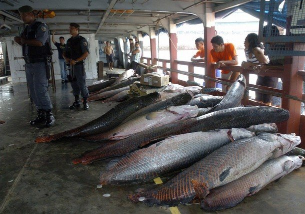 Самая большая пресноводная рыба (4 фото)