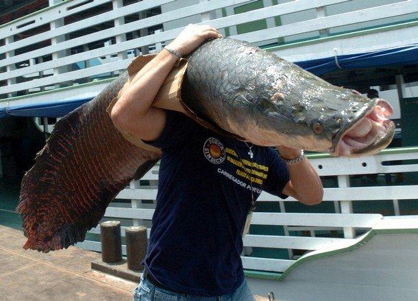 Пираруку, одна из самых больших в мире пресноводных рыб