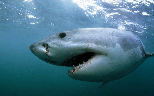 Акулы (22 фото)