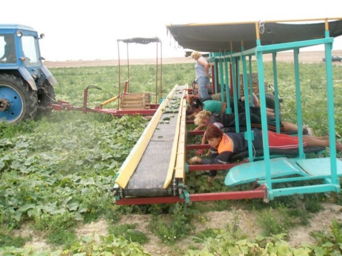 Как собирают огурцы в Белорусии (16 фото)