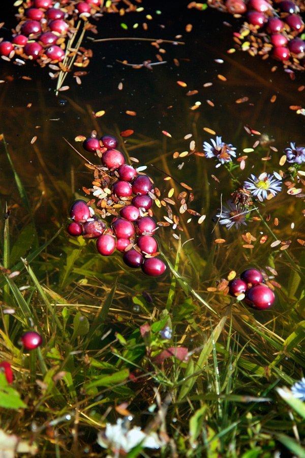 Сбор клюквы в Новой Англии (14 фото)