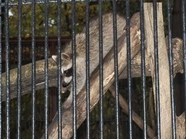Прикольные еноты (49 фото)