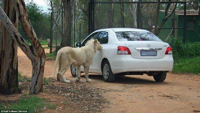 Лев ловит попутку (5 фото)
