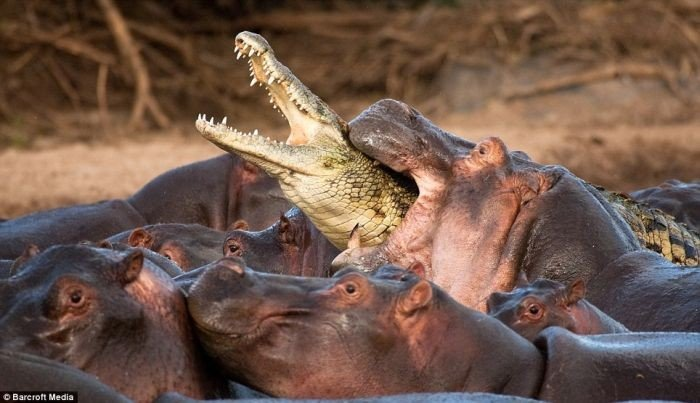 Крокодила сожрали бегемоты (5 фото)