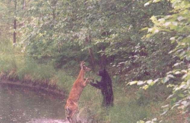 Олень против медведя (4 фото)