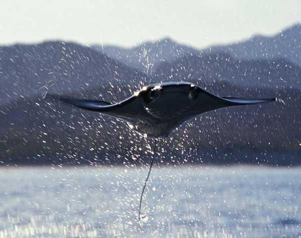 Мобула - летающий морской дьявол (14 фото)