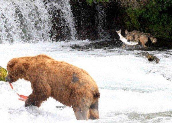 Волк-рыболов (6 фото)