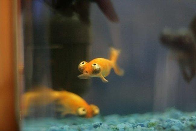 Глазастые рыбки (3 фото)