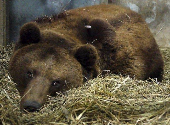 Медведь загрыз человека (5 фото)