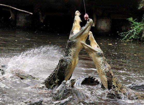 Как кормят крокодилов (28 фото)