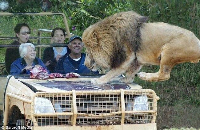 Добрый лев (6 фото)
