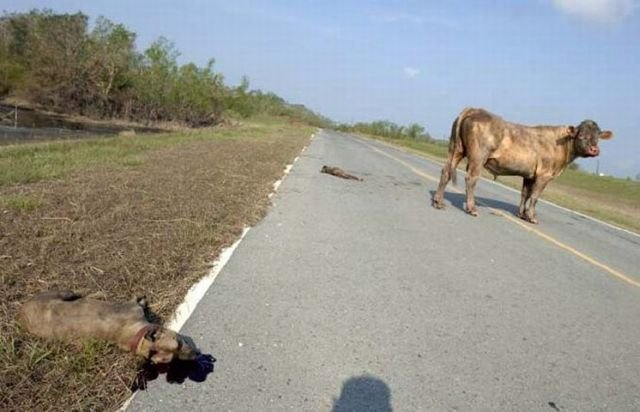 Питбули против быка (4 фото)