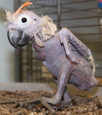 Лысый попугай (2 фото)