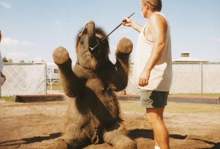 Как дрессируют слонов (25 фото + текст)