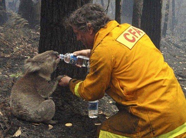 Как спасали коалу (12 фото)