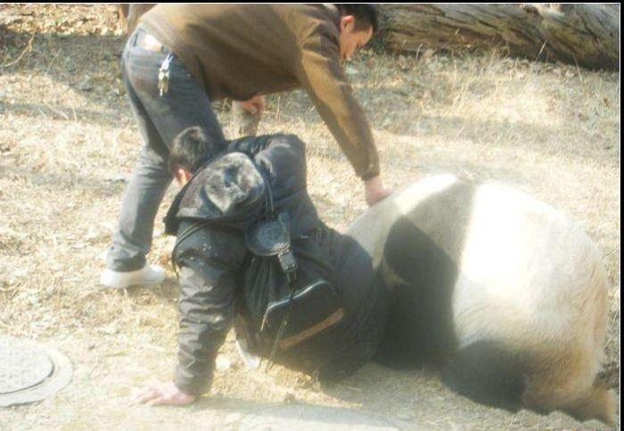 Агрессивная панда (7 фото)