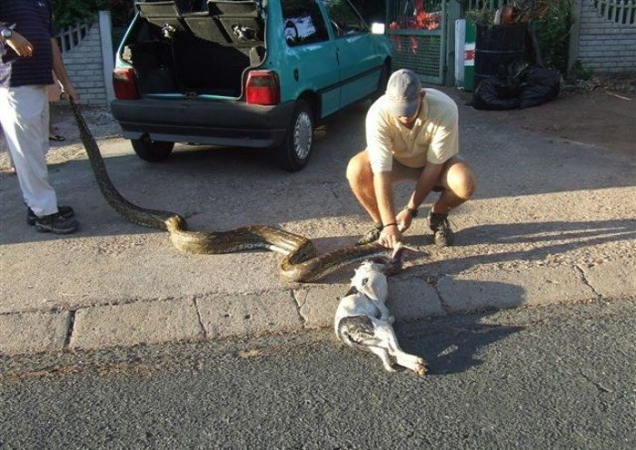 Змея закусила собачкой (8 фото)