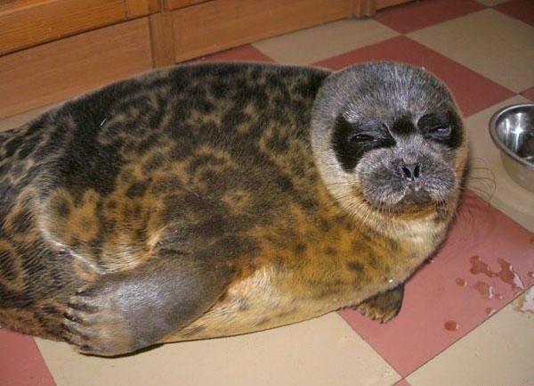 Морской котик дома (8 фото)