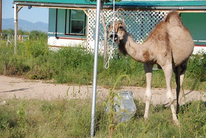 Верблюд в гневе (21 фото)