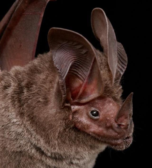 Мордочки летучих мышей (54 фото)
