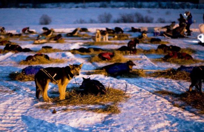 Гонки на собачьих упряжках (28 фото)