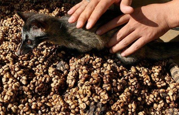 Как делают самый дорогой в мире кофе (10 фото)