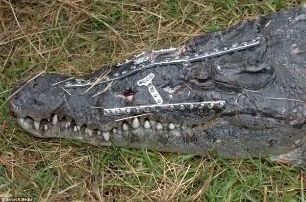 Крокодила прооперировали (4 фото)