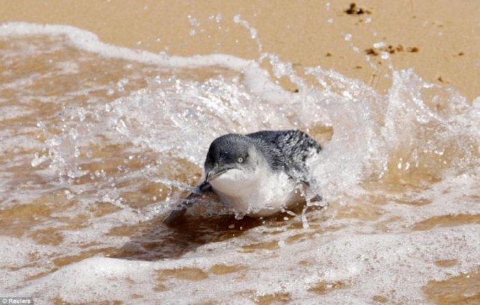 Маленькие пингвины (6 фото)