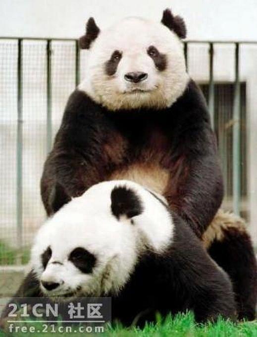 Панды смотрят порнушку (6 фото)