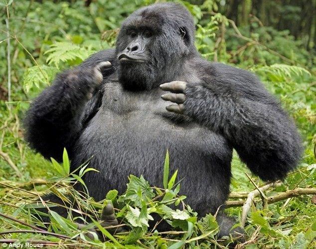 Пьяная горилла (6 фото)