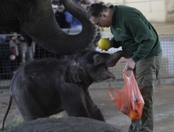 Рождение слоненка (15 фото)