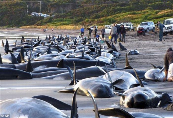 В Австралии киты выбросились на берег (9 фото)