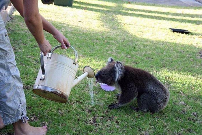 Коалы хотят пить (21 фото)