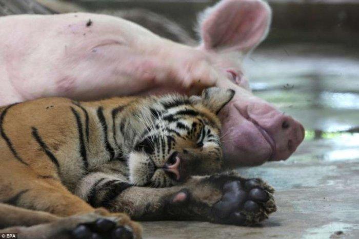 Мать для тигрят (5 фото)