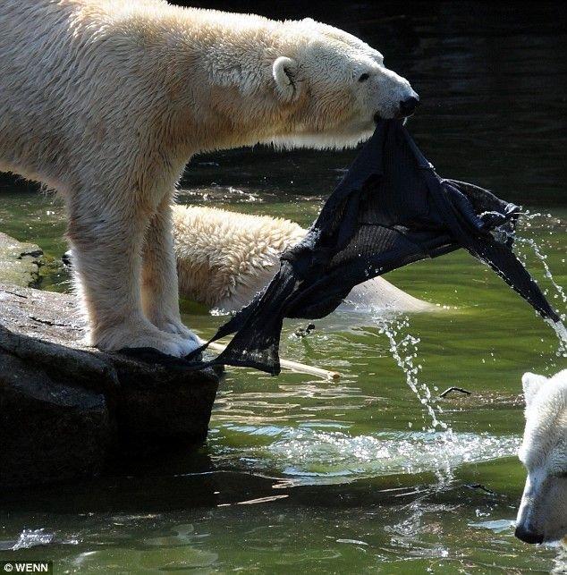 Женщина упала в вольер к белым медведям (4 фото + видео)