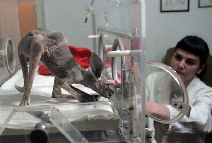 Спасение кенгуренка (4 фото)