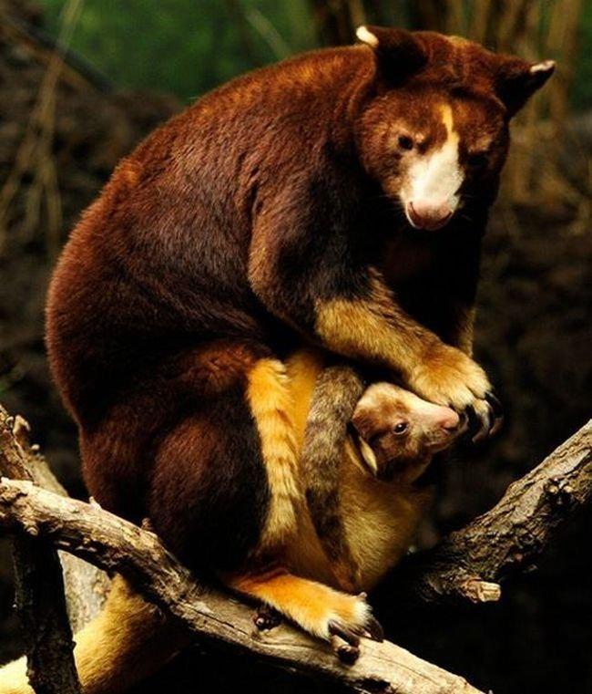 Древесные кенгуру (20 фото)