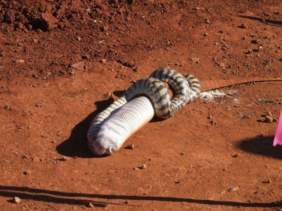 Змея против ящерицы (11 фото)