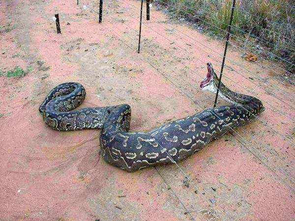 Самая зубастая змея (3 фото)